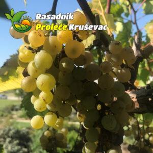 kalemovi vinove loze stone sorte beogradska rana