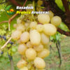 kalemovi vinove loze stone sorte demir kapija