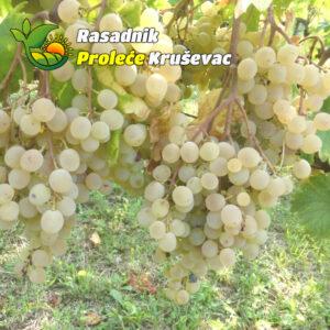 kalemovi vinove loze stone sorte julski muskat