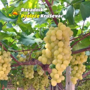 kalemovi vinove loze stone sorte kraljica vinograda