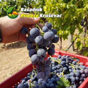 kalemovi vinove loze stone sorte misel