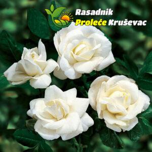 ruza akito cvet