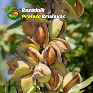 sadnice aromaticnog badema