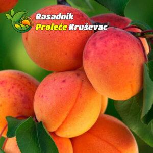 sadnice kajsija madjarska najbolja