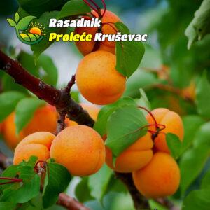 sadnice kajsije novosadska rodna