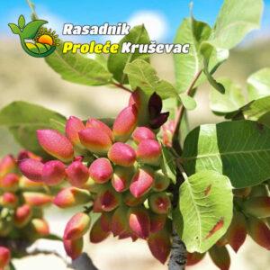 sadnice pistaca