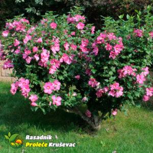 bastenski hibiskus sadnice