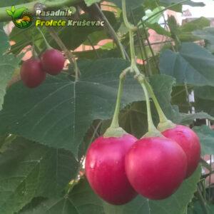 tamarilo plod